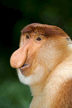 proboscis monkey portrait male