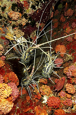 Spiny Lobster (Panulirus femoristriga).Wakatobi, Onemobaa Island, Indonesia   (RR)