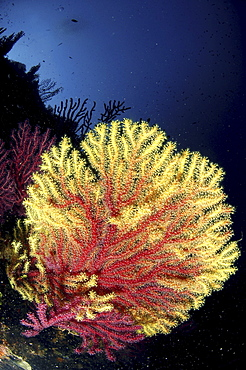 Gorgonian Sea Fan (Gorgonia sp.).