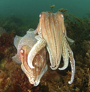 Common Cuttlefish (Sepia officinalis). Pair amongst seaweed, on seabed. Babbacombe, Torquay, South Devon, UK.