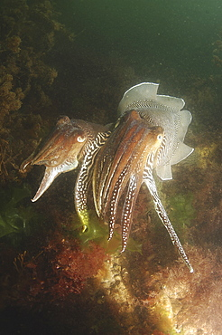 Cuttlefishes (Sepia officinalis) Mating. Babbacombe, Torquay, South Devon, UK   (RR)