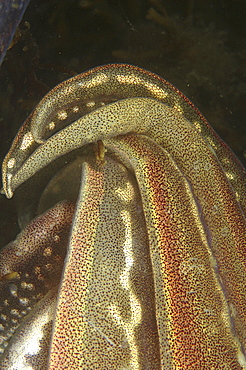 Cuttlefish (Sepia officinalis) Close up of arms. Babbacombe, Torquay, South Devon, UK   (RR)