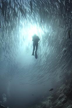 Diver amongst shoal of Blackfin Barracuda (Sphyraena barracuda) Barracuda Point, Sipadan Island, Borneo, Malaysia   (RR)