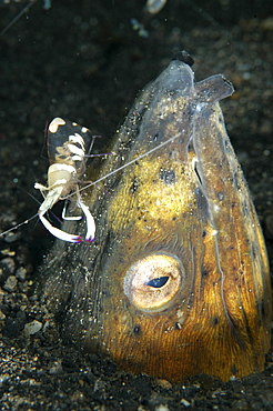 Black finned snake eel (Ophictus Melanochir) with short hand commensal shrimp (Palaemonidae).Lembeh Straits, Indonesia.                               (RR)