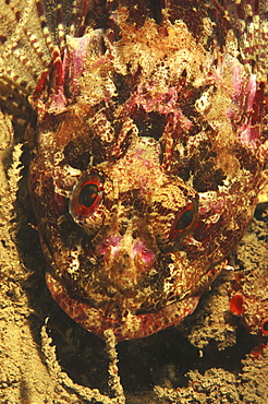 Scorpionfish (Scorpaena scrofa).Sardinia, Italy   (RR)