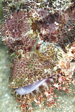 Scorpionfish (Scorpaena scropha).Sardinia, ItalyRestricted resolution (please contact us)   (RR)