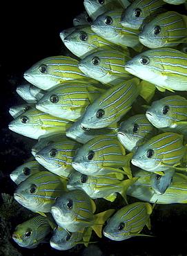 Bluelined Snapper (Lutjanus kasmira).Angaga House Reef, Maldives, Indian OceanRestricted resolution (Please contact us)   (RR)