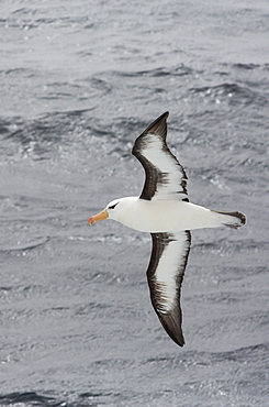 A Black Browed Albatross; Thalassarche melanophrys, flying in the Drake Passage, Sub-Antarctica.