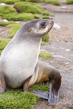A female Antarctic Fur Seal (Arctocephalus gazella) at Salisbury Plain, South Georgia, Southern Ocean.