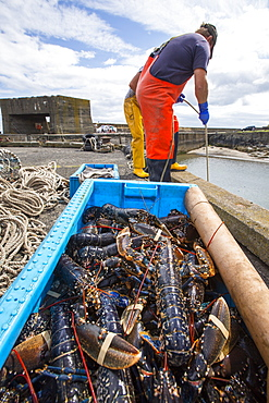 Fishermen unload Lobsters caught off Craster in Northumberland, UK.