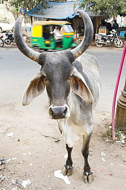 Brahman cow in Ahmedabad, India.