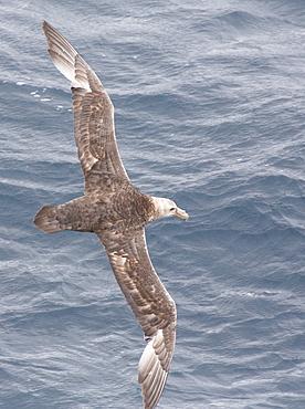 A Southern Giant Petrel, Macronectes giganteus, flying in the Drake Passage, Sub-Antarctic.