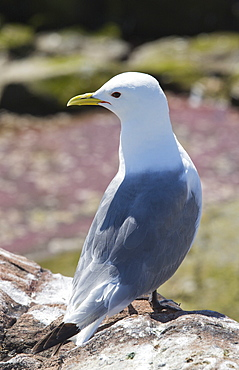 A Kittiwake, Rissa tridactyla, on the Farne Islands, Northumberland, UK, next to a pool with red algae. Kittiwakes have declined drastically due to climate change causing their main fish prey species to migrate further north to find cooler sea temperatures.