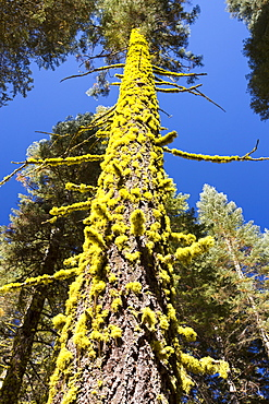 Letharia, or Wolf Lichen grwoing on a tree in Yosemite National Park, California, USA.