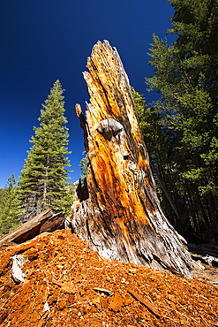 A dead tree in the Little Yosemite Valley, Yosemite National Park, California, USA.