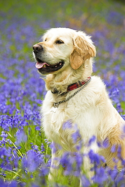 A Golden Retriever dog in Bluebells in Jiffy Knotts wood near Ambleside, Lake District, UK.