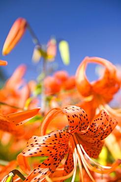 Orange lily flowers, England, United Kingdom, Europe