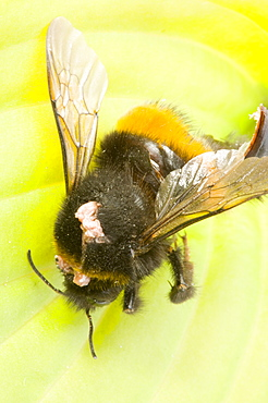 A bumblebee killed by a conopid fly which ambushes the bee, pierces the exoskeleton and lays an egg in its abdomen