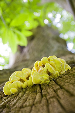 Fungus growing on a sweet chestnut tree