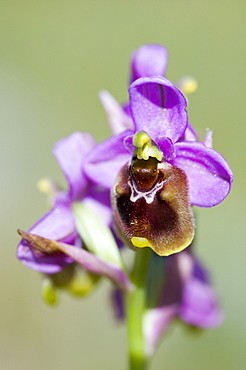 A spider orchid above Espinama in the Picos de Europa mountains, Northern Spain, Europe