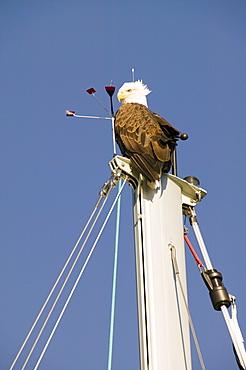 A bald eagle on a yacht mast in Seward, Alaska, United States of America, North America