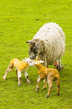 A new born lamb and mother, Yorkshire Dales National Park, Yorkshire, England, United Kingdom, Europe