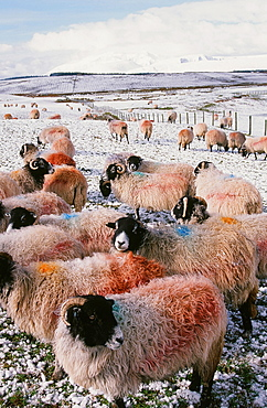 Sheep in winter snow near Penrith in the Lake District, Cumbria, England, United Kingdom, Europe