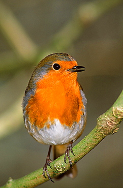 A European robin, United Kingdom, Europe