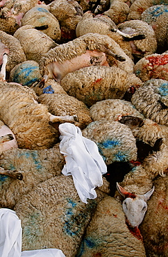 Sheep infected with foot and mouth disease culled in North Cumbria, England, United Kingdom, Europe