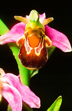 A bee orchid, Yorkshire Dales, Yorkshire, England, United Kingdom, Europe