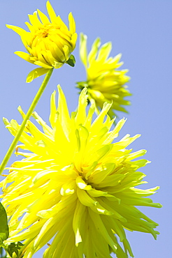 Yellow dahlia flowers, England, United Kingdom, Europe