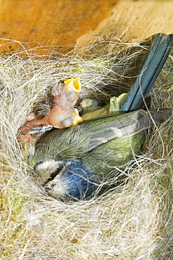 Newly hatched blue tit chicks and adult in a nestbox