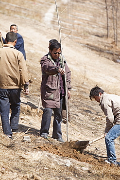 Chinese trying to combat desertification by planting millions of trees, but sadly many die as the ground is now just too dry to support them, Inner Mongolia, Northern China, Asia