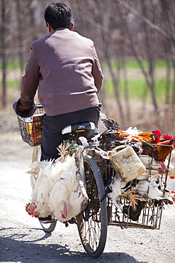 A Chinese peasant famer on a bike with live chickens tied to the side, China, Asia