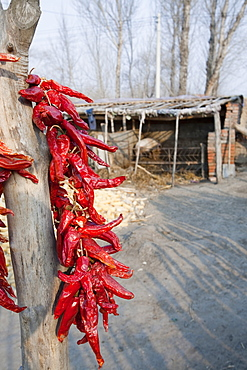 Chilies hanging up to dry in northern China, Asia