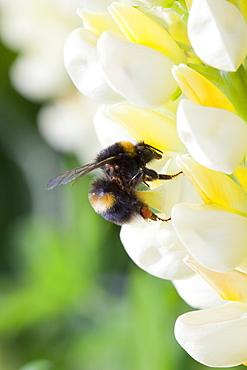 Bumblebee feeding on garden plants, United Kingdom, Europe