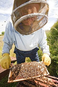 Beekeeper Bill Mackereth checks his hives for signs of Varoa mite damage, Cockermouth, Cumbria, England, United Kingdom, Europe