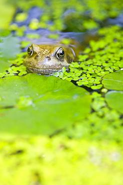 A frog in a garden pond, Lancashire, England, United Kingdom, Europe