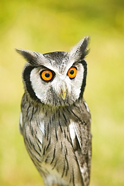 A white faced owl with a surprised expression on its face