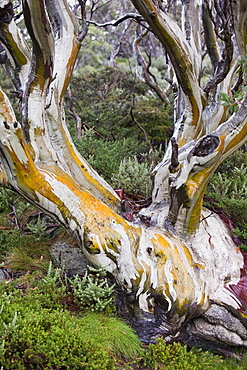 Snow gum trees in the Snowy Mountains, New South Wales, Australia, Pacific