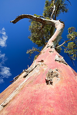 Eucalyptus tree in the Snowy Mountains, New South Wales, Australia, Pacific