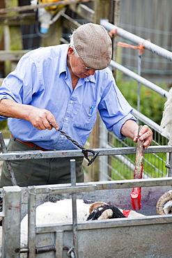 A farmer marking up freshly sheared sheep in Wet Sleddale, Lake District, Cumbria, England, United Kingdom, Europe
