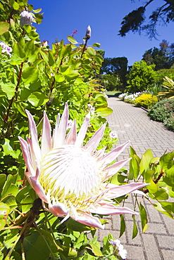 Proteas growing in the Abbey gardens on Tresco, Scilly Isles, off South West Cornwall, United Kingdom, Europe