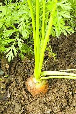 Organic carrots on an allotment in Cumbria, England, United Kingdom, Europe