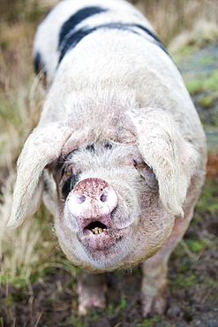 This Gloucester Old Spot Pig has the run of virtually the whole of the Isle of Raasay, but tends to stay on the northern end of the isle on Calums road near Arnish, Isle of Raasay, Scotland, United Kingdom, Europe