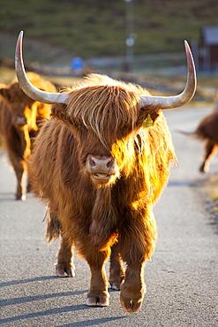 Highland cattle on the Strathaird Peninsula, Isle of Skye, Scotland, United Kingdom, Europe