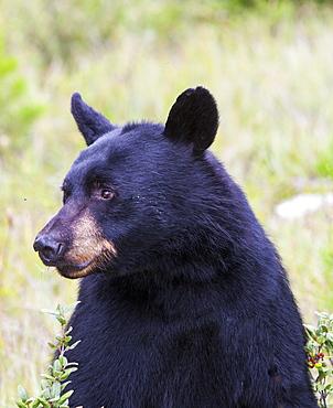 A black bear (Ursus americanus) in Banff National Park, UNESCO World Heritage Site, Alberta, Canada, North America