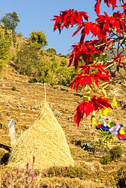 Poinsettia trees flowering and a traditional hay rick, near Pokhara, Himalayas, Nepal, Asia
