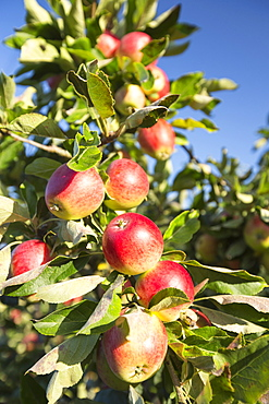 Apples growing in an orchard near Pershore, Vale of Evesham, Worcestershire, UK.