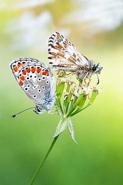 About butterflies and wind. Nature, Moldova, insect, summer, Green,  macro, butterflies, wind, butterfly, flower - 912-3